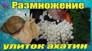 Размножение африканских улиток ахатин. Беременность улиток. Разведение ахатин в домашних условиях.
