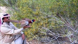 اطلاق طائر الفزن البري ديوانية الحسين التاريخية ورعاية الايتام Ringneck Pheasant Bird