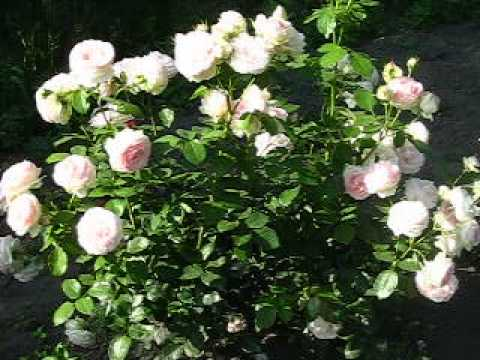 Роза Пьер де Ронсард (Pierre de Ronsard).