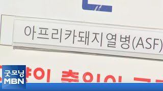 강릉서 첫 돼지열병 멧…