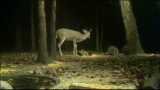 (View From Cam 4 Of Round Two) The Buck Battling the Raccoons