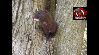 What is a Mink?