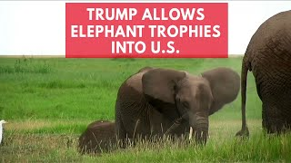 Trump quietly gives go ahead for elephant trophy imports into US