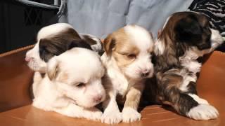 パラダイスケンネルでチベタンテリア子犬2016年3月25日生まれました。
