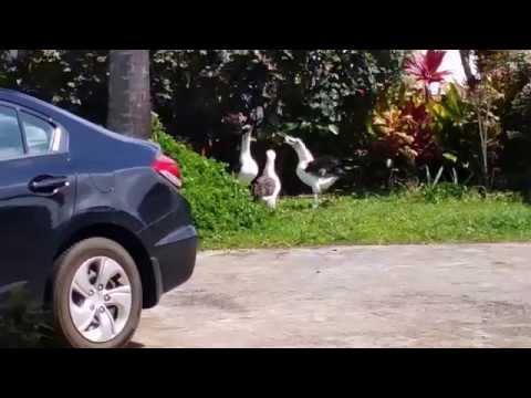 Dancing Laysan Albatross Kauai Hawaii /  Parent feeding a baby.