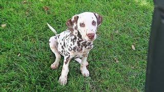 my-dalmatian-is-deaf