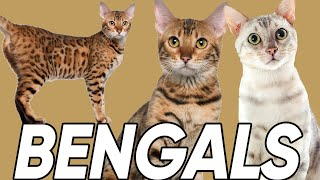 Do You Know These 6 Facts About Bengal Cats?!