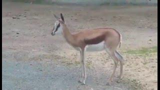 ZOO Dvůr Králové n/L - antilopa skákavá.