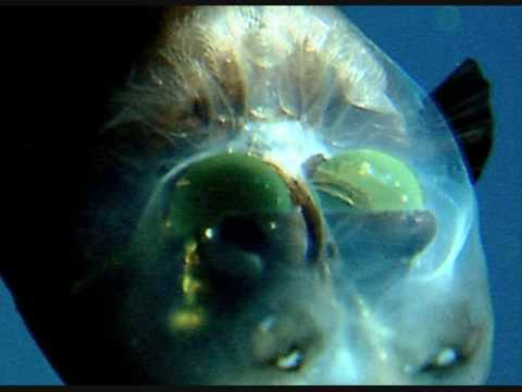 Barrel Eye Fish Really Cool Youtube