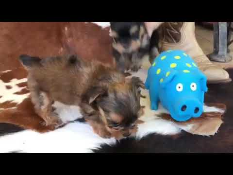 AKC Yorkies for sale
