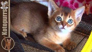 Маленькие абиссинские котята, посмотрите, что они творят! [kotopurrs]