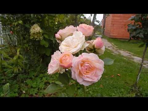 Розы и штамбы.Прощальные цветочки в конце сентября.