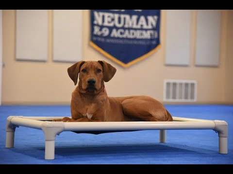 Sarge (Rhodesian Ridgeback) Puppy Camp Dog Training Video Demonstration