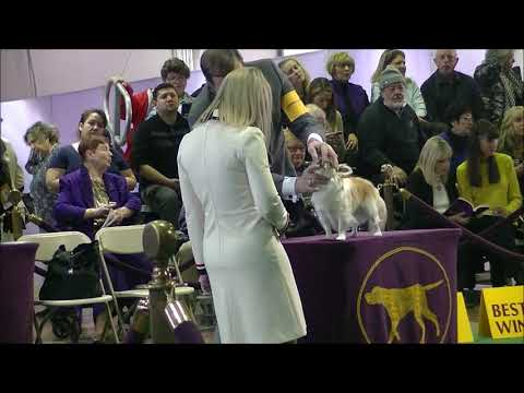Long haired Chihuahua Westminster dog show 2019