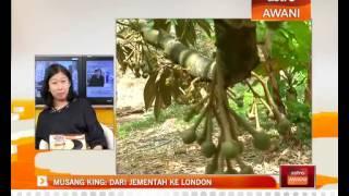 Video Musang King: Dari Jementah ke London download MP3, 3GP, MP4, WEBM, AVI, FLV Juli 2018