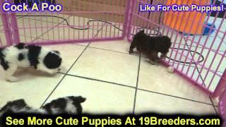 Cock A Poo, Puppies, For, Sale, In, Kearney, Nebraska, Ne, Fremont, Hastings