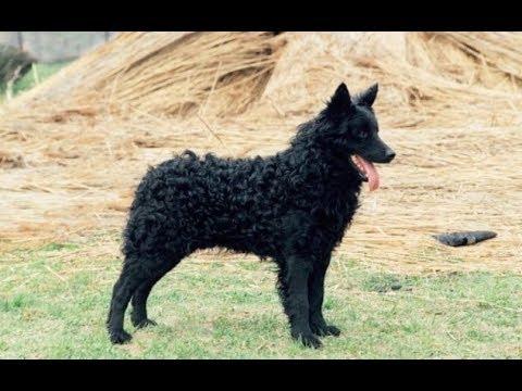 Порода собак Муди - Описание, характер, питание