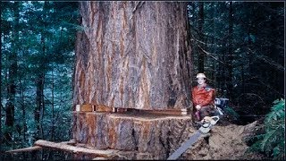 Amazing Dangerous Skills Fastest Tree Felling, Heavy Biggest Tree Cutting Down Machines