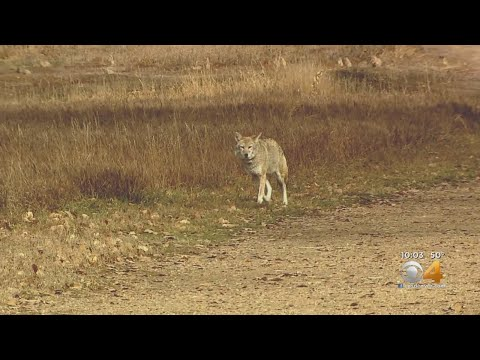 BEARDO - Someone in Erie is feeding Prairie Dogs and attracting Coyotes