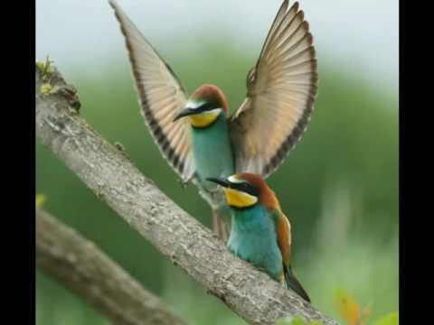 Le plus bel oiseau d' Europe, le guêpier - Beautiful European bee-eater