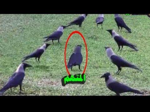 هل تعلم عقوبة الزنا بمحاكم الغربان ؟ معلومات مذهله عن حياه الغربان لا تجعلها تفوتك ؟؟
