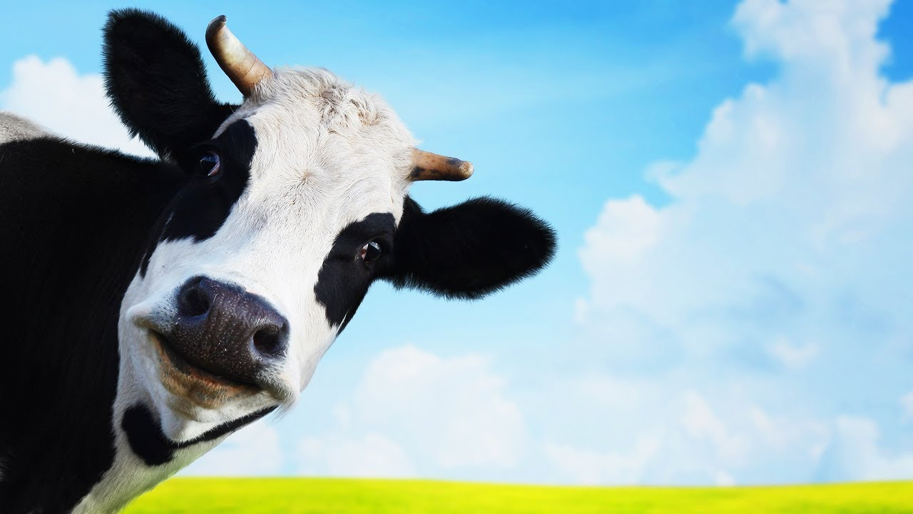 Les animaux de la ferme la vache youtube - Photo vache rigolote ...