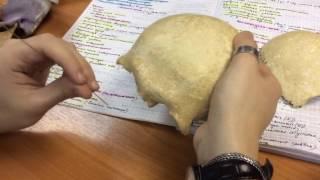 1 5  Мозговой череп