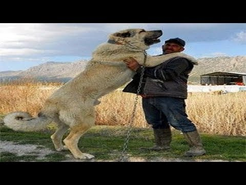 Five Biggest Dog Breeds in the World | Top 5 Big Dogs | Largest Dog Breeds