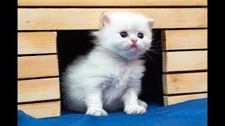 Котик Ivan Johann SunRay Британский котенок черного золотого затушеванного пойнт окраса BLH ny 11 33