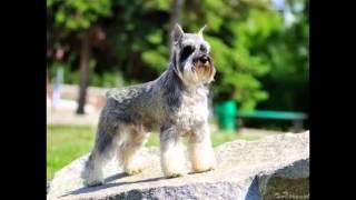 Самые смешные собаки и щенки породы цвергшнауцер