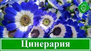 Цветы цинерария – выращивание из семян, посадка и уход