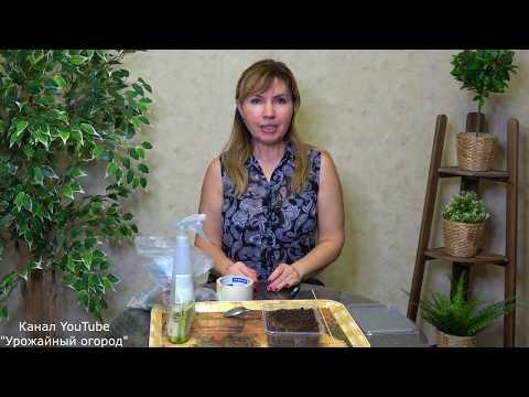 Как из семян вырастить колеус из семян в домашних условиях