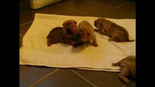 4 Beautiful Shar Pei Puppies 3 Weeks Old These Stunning Pups Are For Sale