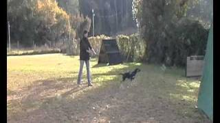 Protection Training Kelpie (6-8 Months)