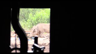 Bowhunting Africa - Heart Shot On A Warthog W: African Bowhunting Adventures