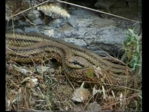 Serpente cervone elaphe quatuorlineata youtube for Serpente cervone