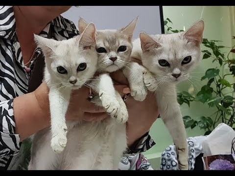Котята бурмилла из питомника PCA ЛАМБЕРТ