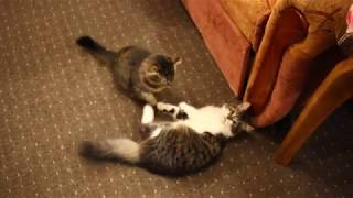 Kitten brother play with kitten sister