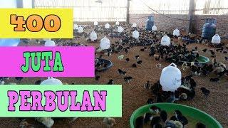 Ternak Ayam Kampung Sebulan Tembus 400 JUTA