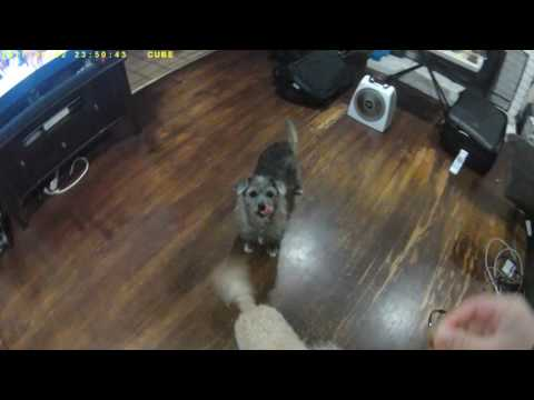 Border terrier dog catches treat in air.  Cute dogs #2