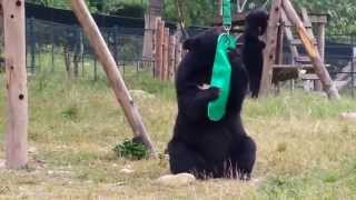 What's this New Toy? (at Animals Asia's Vietnam Bear Sanctuary)