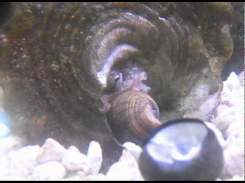 Baby octopus pet