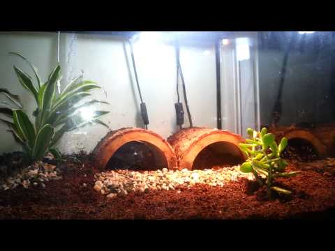 Redfoot Tortoise care and habitat setup