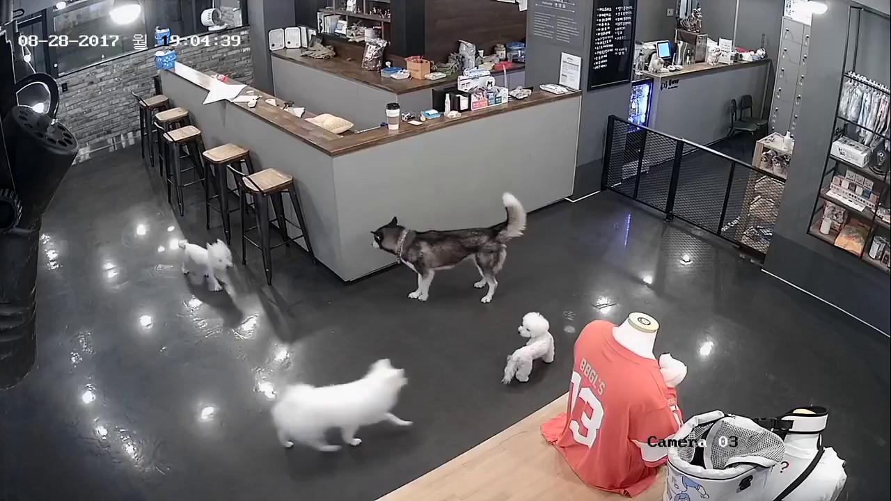 哈士奇犬突然瘋狂攻擊比熊犬