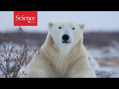 Polar bears are starving, and this video reveals why - YouTube