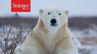 Polar bears are starving, and this video reveals why
