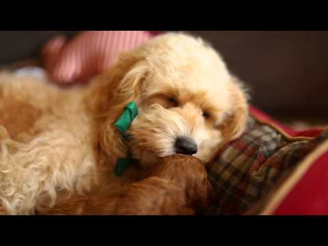 Piccolo and Manuka Toy Cavoodle Cavapoo Puppies 3 weeks old