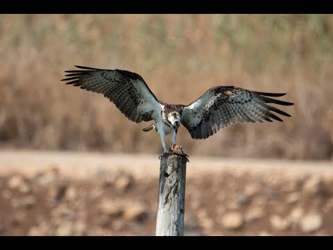 Osprey Feeds On A Fish While It's Still Alive