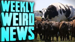 look-at-this-big-cow-weekly-weird-news