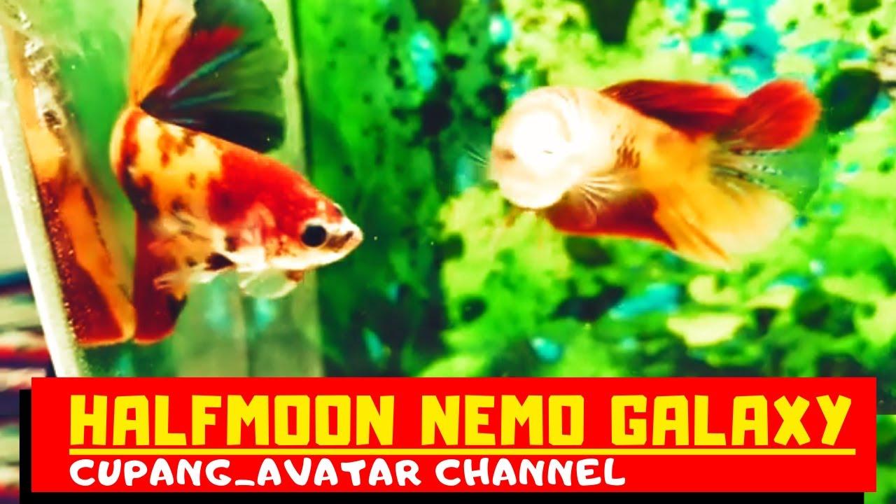 Ikan Cupang Hias Halfmoon Nemo Galaxy Super Mantap ...